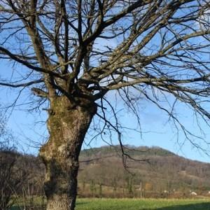 Photographie n°2138224 du taxon Quercus robur L. [1753]