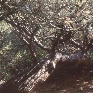 Photographie n°2138496 du taxon Pinus halepensis Mill. [1768]