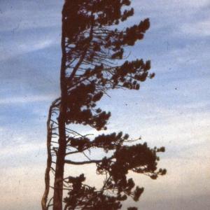 Photographie n°2138497 du taxon Pinus nigra subsp. salzmannii (Dunal) Franco