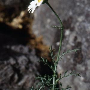 Photographie n°2138695 du taxon Leucanthemum monspeliense (L.) H.J.Coste [1903]