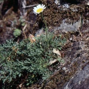 Photographie n°2138696 du taxon Leucanthemum monspeliense (L.) H.J.Coste [1903]