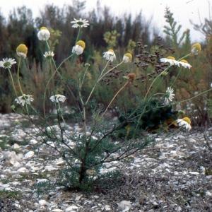 Photographie n°2138703 du taxon Matricaria perforata Mérat [1812]