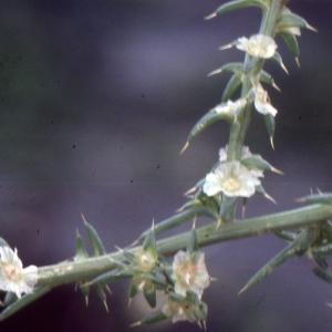 Photographie n°2138818 du taxon Salsola kali L. [1753]