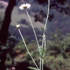 Photographie n°2138995 du taxon Tanacetum corymbosum (L.) Sch.Bip. [1844]