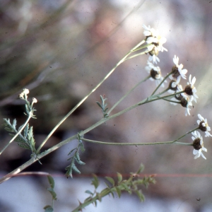 Photographie n°2138996 du taxon Tanacetum corymbosum (L.) Sch.Bip. [1844]