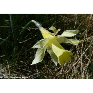 Narcissus pseudonarcissus subsp. pallidiflorus (Pugsley) A.Fern. (Jonquille à fleur pâle)