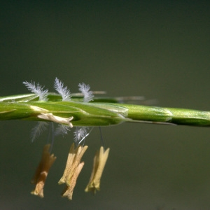 Brachypodium pinnatum (L.) P.Beauv. [1812] (Brachypode penné)