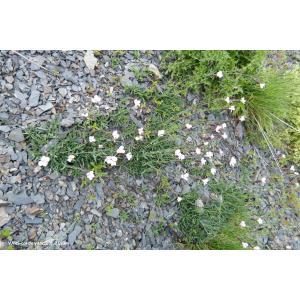 Dianthus furcatus Balb. (Oeillet fourchu)