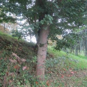 Photographie n°2139757 du taxon Acer pseudoplatanus L.