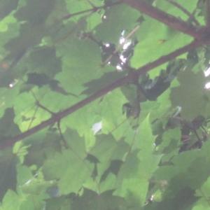 Photographie n°2139759 du taxon Acer pseudoplatanus L.