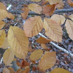 Photographie n°2139774 du taxon Fagus sylvatica L.
