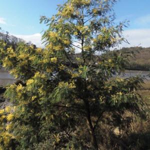 Photographie n°2139893 du taxon Acacia dealbata Link [1822]