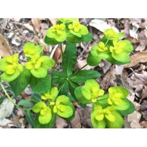 Euphorbia canuti Parl. [1869] (Euphorbe de Canut)