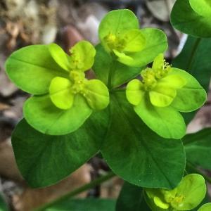Euphorbia canutii Parl. (Euphorbe de Canut)