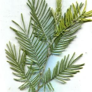 Photographie n°2140505 du taxon Acacia dealbata Link [1822]