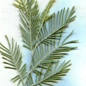 Photographie n°2140506 du taxon Acacia dealbata Link [1822]