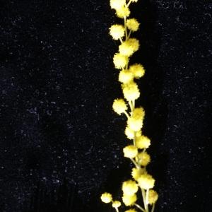 Photographie n°2140509 du taxon Acacia dealbata Link [1822]