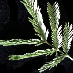 Photographie n°2140511 du taxon Acacia dealbata Link [1822]