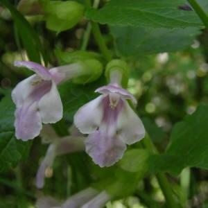 Photographie n°2140523 du taxon Melittis melissophyllum L. [1753]