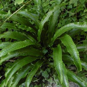 Photographie n°2140565 du taxon Asplenium scolopendrium L. [1753]