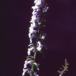 Photographie n°2140718 du taxon Anarrhinum bellidifolium (L.) Willd.