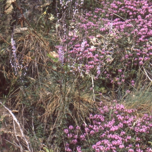 Photographie n°2140720 du taxon Anarrhinum bellidifolium (L.) Willd.