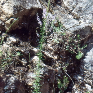 Photographie n°2140722 du taxon Anarrhinum bellidifolium (L.) Willd.