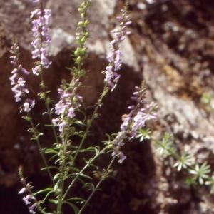 Photographie n°2140723 du taxon Anarrhinum bellidifolium (L.) Willd.