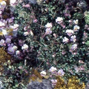 Photographie n°2140725 du taxon Chaenorhinum origanifolium (L.) Kostel. [1844]