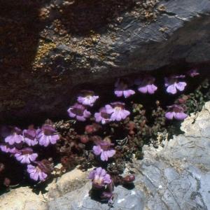 Photographie n°2140726 du taxon Chaenorhinum origanifolium (L.) Kostel. [1844]