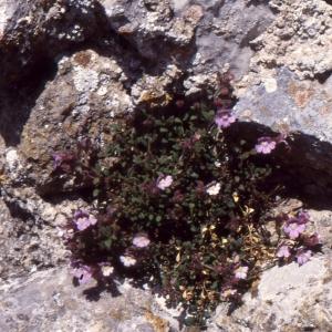 Photographie n°2140728 du taxon Chaenorhinum origanifolium (L.) Kostel. [1844]