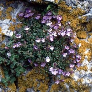 Photographie n°2140729 du taxon Chaenorhinum origanifolium (L.) Kostel. [1844]