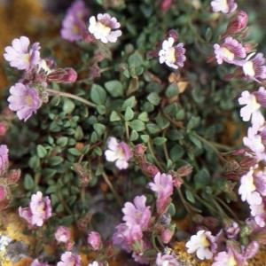 Photographie n°2140730 du taxon Chaenorhinum origanifolium (L.) Kostel. [1844]