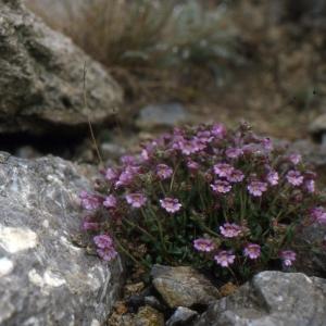 Photographie n°2140731 du taxon Chaenorhinum origanifolium (L.) Kostel. [1844]