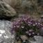 Liliane Roubaudi - Chaenorhinum origanifolium (L.) Kostel. [1844]