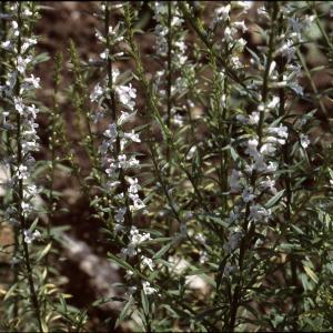 Photographie n°2140734 du taxon Anarrhinum bellidifolium (L.) Willd.
