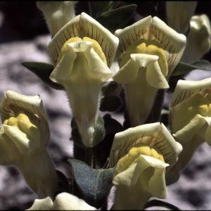 Photographie n°2140735 du taxon Anarrhinum bellidifolium (L.) Willd.