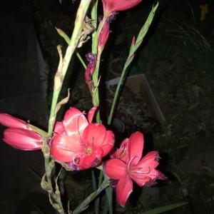 - Hesperantha coccinea (Backh. & Harv.) Goldblatt & J.C. Manning