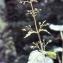 Liliane Roubaudi - Scrophularia alpestris J.Gay ex Benth. [1846]