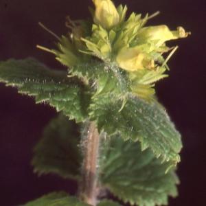 Scrophularia vernalis L. (Scrofulaire de printemps)
