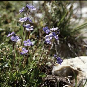 Photographie n°2140857 du taxon Veronica aphylla L. [1753]