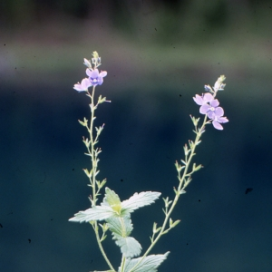 Photographie n°2140864 du taxon Veronica chamaedrys L. [1753]