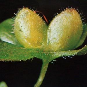 Photographie n°2140865 du taxon Veronica chamaedrys L. [1753]