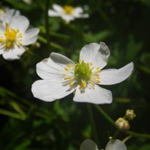 Photographie n°2140911 du taxon Ranunculus aconitifolius L. [1753]
