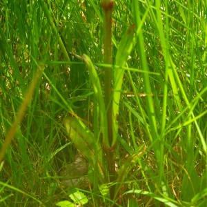 Photographie n°2140913 du taxon Lychnis flos-cuculi L. [1753]