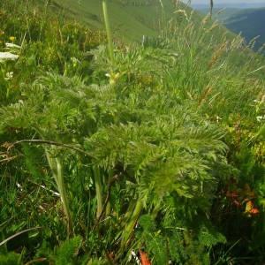 Photographie n°2140954 du taxon Anemone alpina subsp. apiifolia (Scop.) O.Bolòs & Vigo [1974]