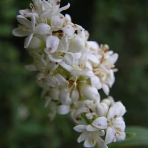 Photographie n°2141071 du taxon Ligustrum vulgare L. [1753]