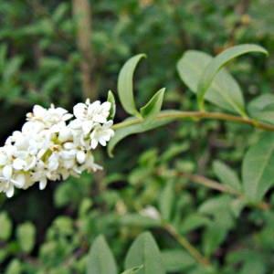 Photographie n°2141072 du taxon Ligustrum vulgare L. [1753]