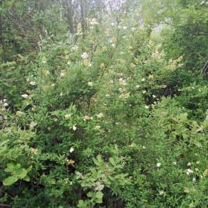 Photographie n°2141073 du taxon Ligustrum vulgare L. [1753]