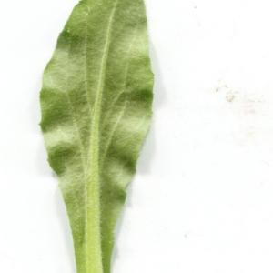 Photographie n°2141208 du taxon Bellis sylvestris Cirillo [1792]